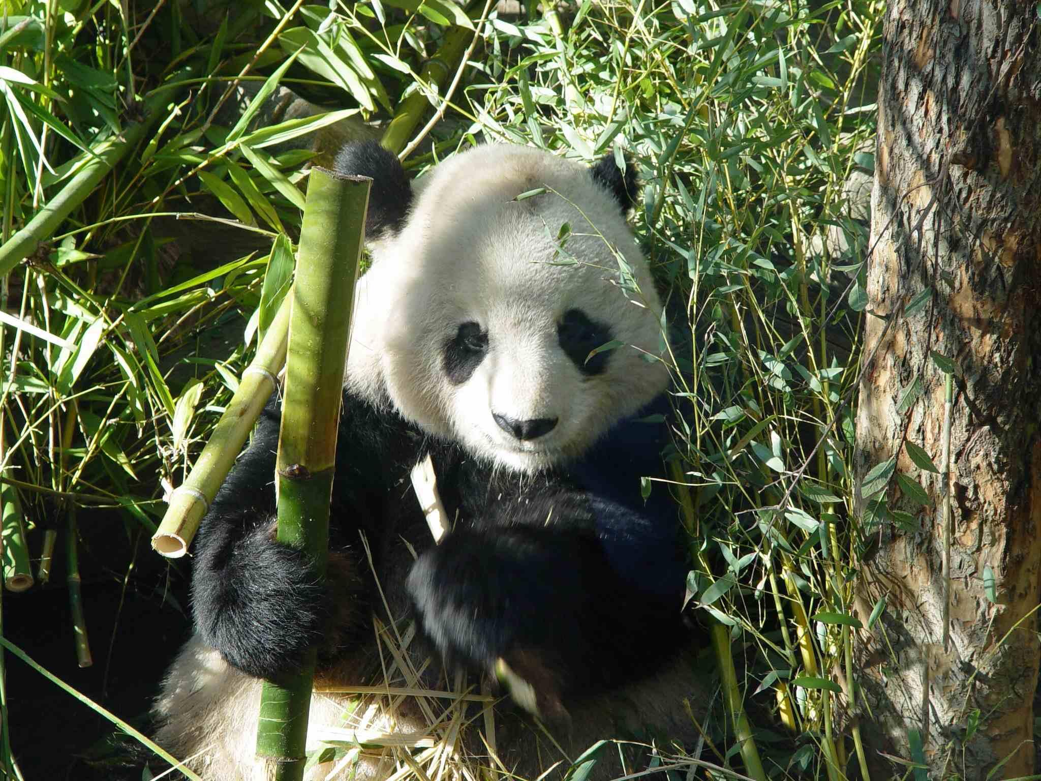 panda wallpaper pandas