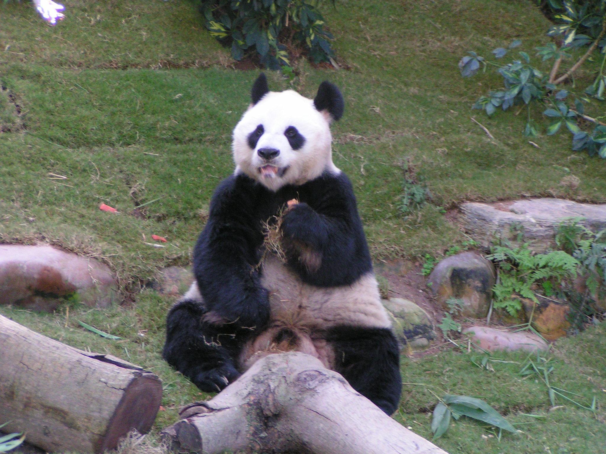 Wallpaper - Pandas