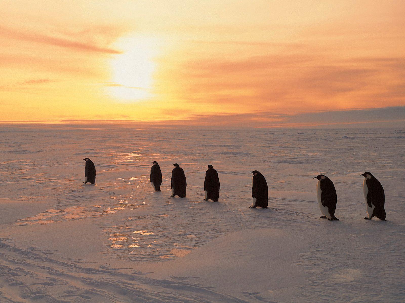 Wallpaper pinguins