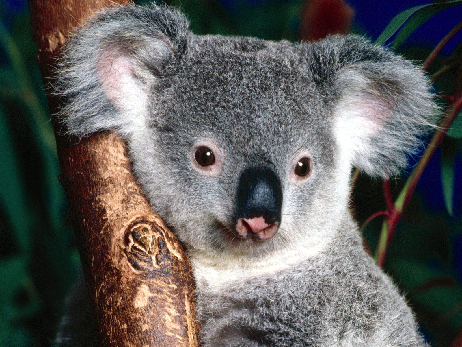 Kids N Fun Wallpaper Koala Beer