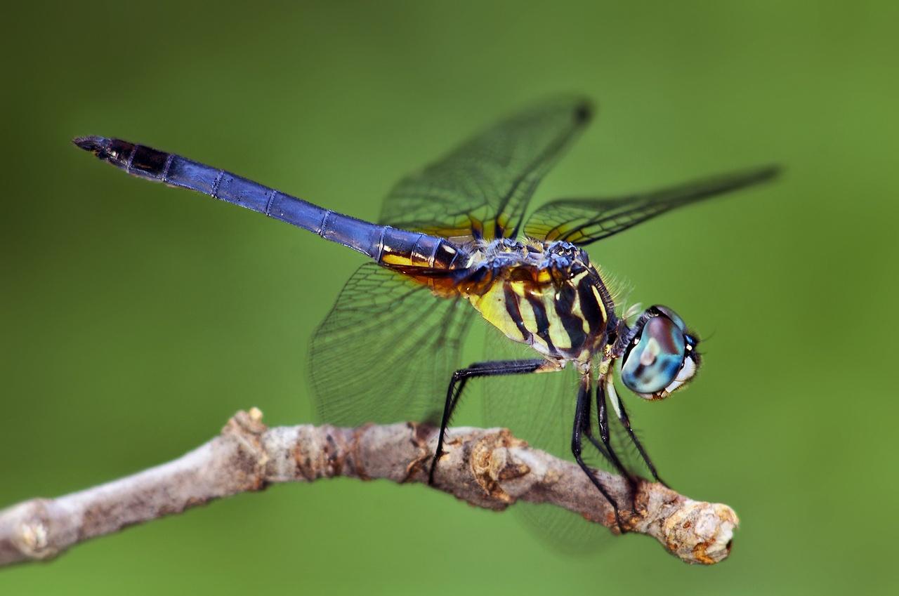 Bugs that look like flies